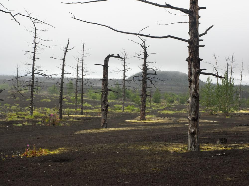 Мертвый лес. Камчатка