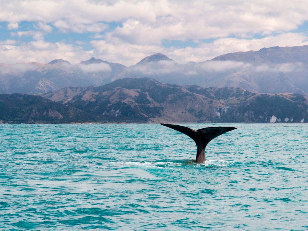 Новая Зеландия, Южный остров. Каикоура