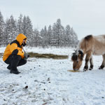 At the photo shoot Yakut horses in Oymyakon
