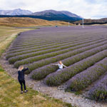 Traveling in New Zealand. Photoshoot in a lavender field